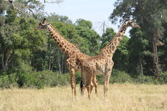 Symmetrical giraffes Stock Photos