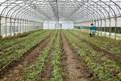 Greenhouse, Flower, Chrysanthemum, Plant, Dirt, Glass - Material royalty free stock photos