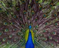 Symmetrical Portrait of a Peacock royalty free stock photos
