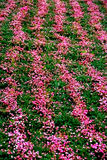 Symmetrical rows of pink flowers on a rustic field. Royalty Free Stock Photo