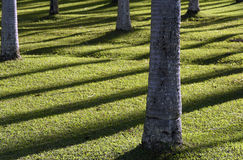 Symmetrical shadows of rational palm plantation Royalty Free Stock Images