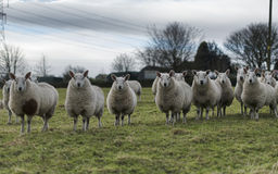 Symmetrical sheep Royalty Free Stock Photography