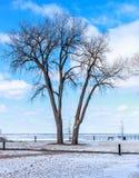 Symmetrical Trees. Two trees growing in symmetry in winter. Taken in Tecumseh, Ontario Stock Images
