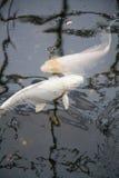 Symmetrical white fishes cyprinus carpio in pond Stock Photo