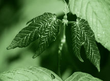 Symmetrical young green leaves Royalty Free Stock Photos