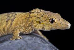 symmetricus Grand-mesuré d'Eurydactylodes de gecko de caméléon images stock