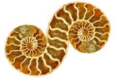 Symmetrischer versteinerter Nautilus auf weißem Hintergrund stockfotografie