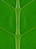 Symmetry. Perfectly symmetrical green palm leaf nature background Royalty Free Stock Image