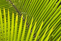 Symmetry of a palm leaf Stock Photos