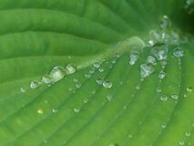 Symmetry of Water droplets on a Hosta Leaf After the Rain