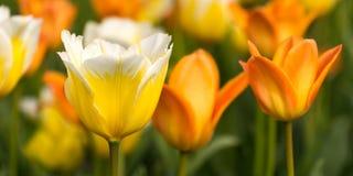 Sympatia tulipan zdjęcia royalty free