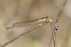 Sympecma fusca. The Common Winter Damselfly, Sympecma fusca, photographed in nature royalty free stock images