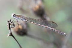 Sympecma paedisca & x28; Brauer, 1882& x29;-男性 免版税库存图片