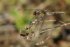 Sympetrum dane Stock Photography