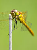 Sympetrum Dragonfly Resting Stock Image