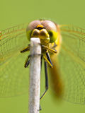 Sympetrum Dragonfly Resting Stock Images