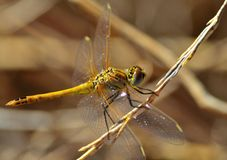 Sympetrum dragonfly on thin branch Stock Photo