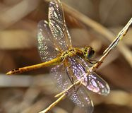Sympetrum dragonfly on thin branch Stock Photography
