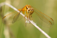 Sympetrum flaveolum. Yellow-winged Darter (Sympetrum flaveolum) from front Stock Image