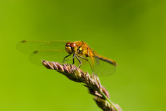 Sympetrum flaveolum, Yellow-winged darter, male Royalty Free Stock Image