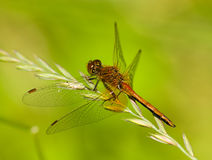 Sympetrum flaveolum, Yellow-winged darter, male. The beautiful dragonfly sits on a plant. A close up Stock Images
