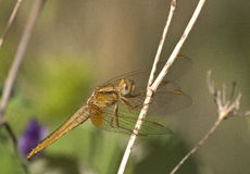 Sympetrum flaveolum. Yellow-winged darter resting on a twig Royalty Free Stock Images