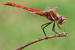 Sympetrum Fonscolombii Stock Images