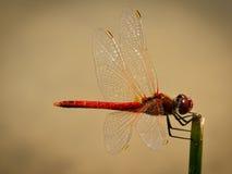 sympetrum fonscolombii dragonfly Стоковые Фото