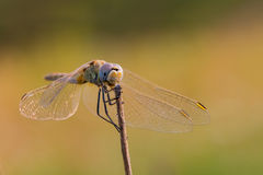 Sympetrum fonscolombii female on a dry stem Royalty Free Stock Images
