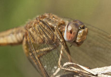 Sympetrum fonscolombii Royalty Free Stock Photo