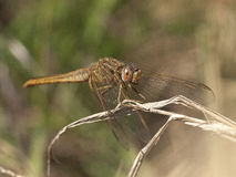 Sympetrum fonscolombii Royalty Free Stock Photos