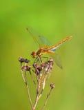 Sympetrum-Libelle (Sympetrum-flaveolum) Stockbild