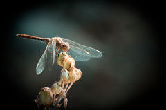 Sympetrum meridionalis. Dragonfly relaxing on a plant Royalty Free Stock Photography
