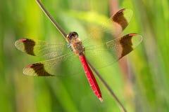 Sympetrum pedemontanum被结合的突进者蜻蜓 库存图片