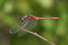 Sympetrum sanguineum. (Ruddy Darter) resting on a branch Royalty Free Stock Photos