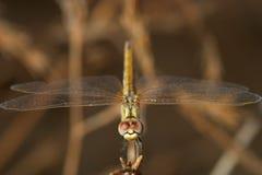 sympetrum sp dragonfly Стоковое Изображение