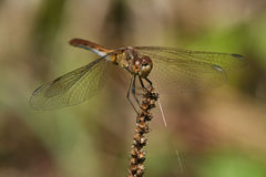 Sympetrum striolatum Stock Photos