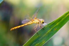 Sympetrum striolatum dragonfly Zdjęcie Royalty Free