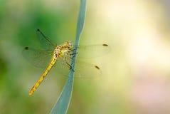 Sympetrum striolatum dragonfly Obrazy Stock