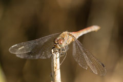 Sympetrum striolatum dragonfly Royalty Free Stock Photos