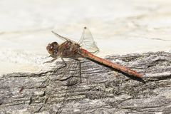 Sympetrum striolatum, Pospolity wężowy, dragonfly od Niskiego Saxony, Niemcy Zdjęcie Royalty Free