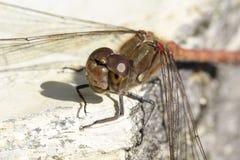 Sympetrum striolatum, Pospolity wężowy, dragonfly od Niskiego Saxony, Niemcy Obraz Stock