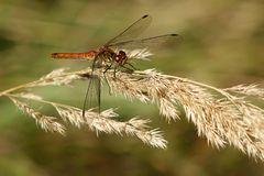 Sympetrum vulgate male Stock Photos