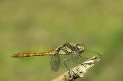Sympetrum vulgatum Royalty Free Stock Photos