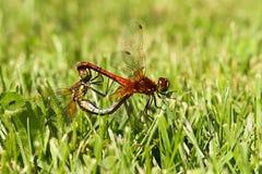 联接在草Sympetrum vulgatum的一个对蜻蜓 图库摄影