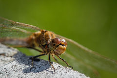 Sympetrum vulgatum dragonfly close-up Stock Photos