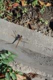 Sympetrum vulgatum resting on concrete curb. Sympetrum vulgatum resting on grey concrete curb Stock Photos