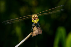 Sympetrum vulgatum, vagrant darter Royalty Free Stock Photography