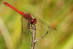 Sympetrum vulgatum Royalty Free Stock Photo