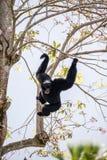 Symphalangus Siamang Gibbon syndactylus Stockfotos